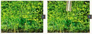 ADA Phyton-Git Sol / Добавка для борьбы с сине-зелеными и подавления водорослей, 100 мл